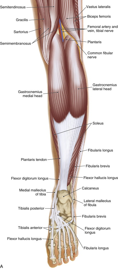 The Achilles tendon is the distal tendon of the gastrocnemius and soleus muscles
