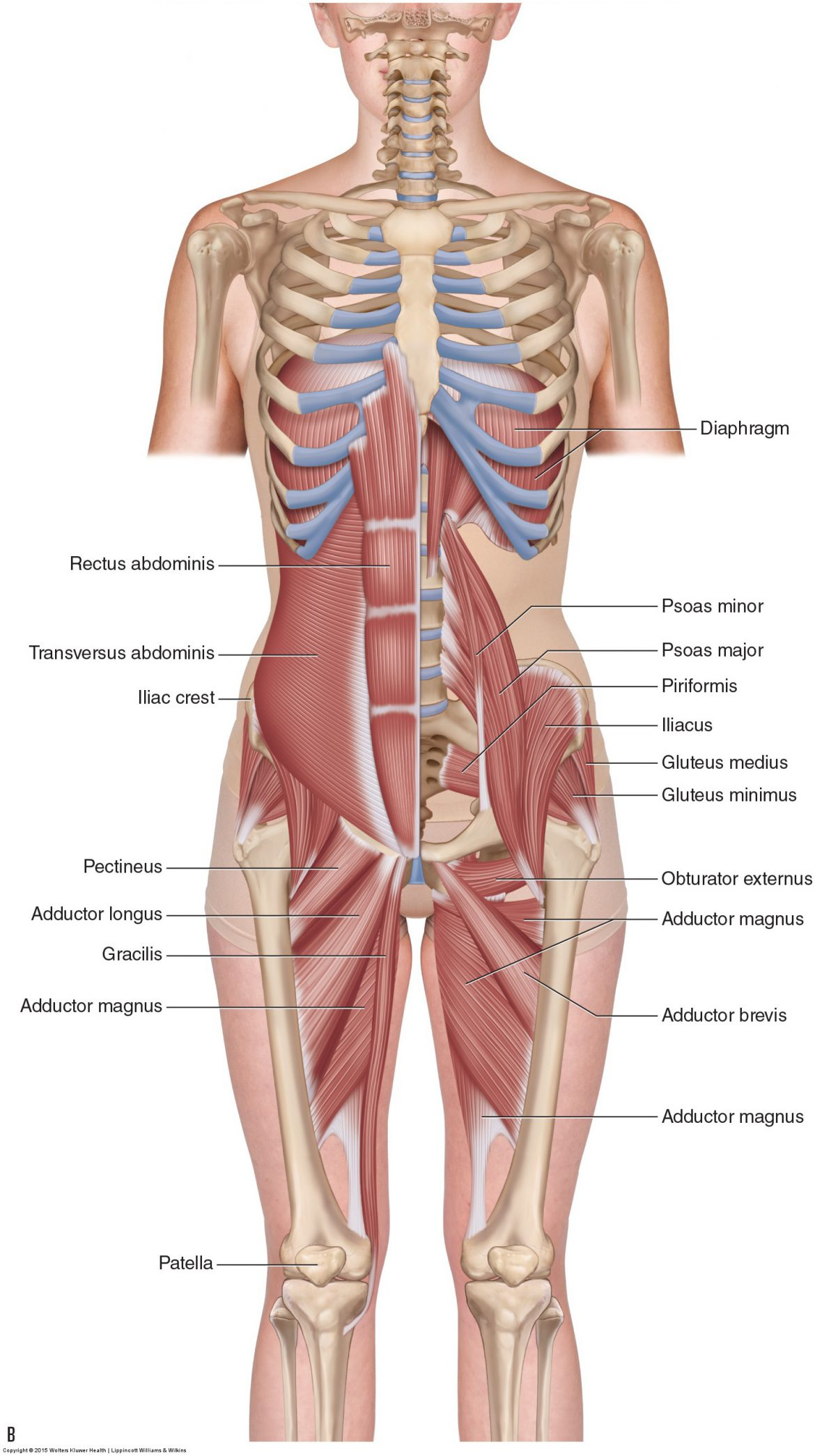 an adductor strain, also known as a groin pull, occurs in the medial thigh