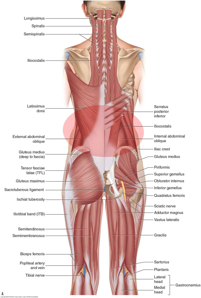 Low back muscle spasming is extremely common: Superficial posterior view of the muscles of the low back
