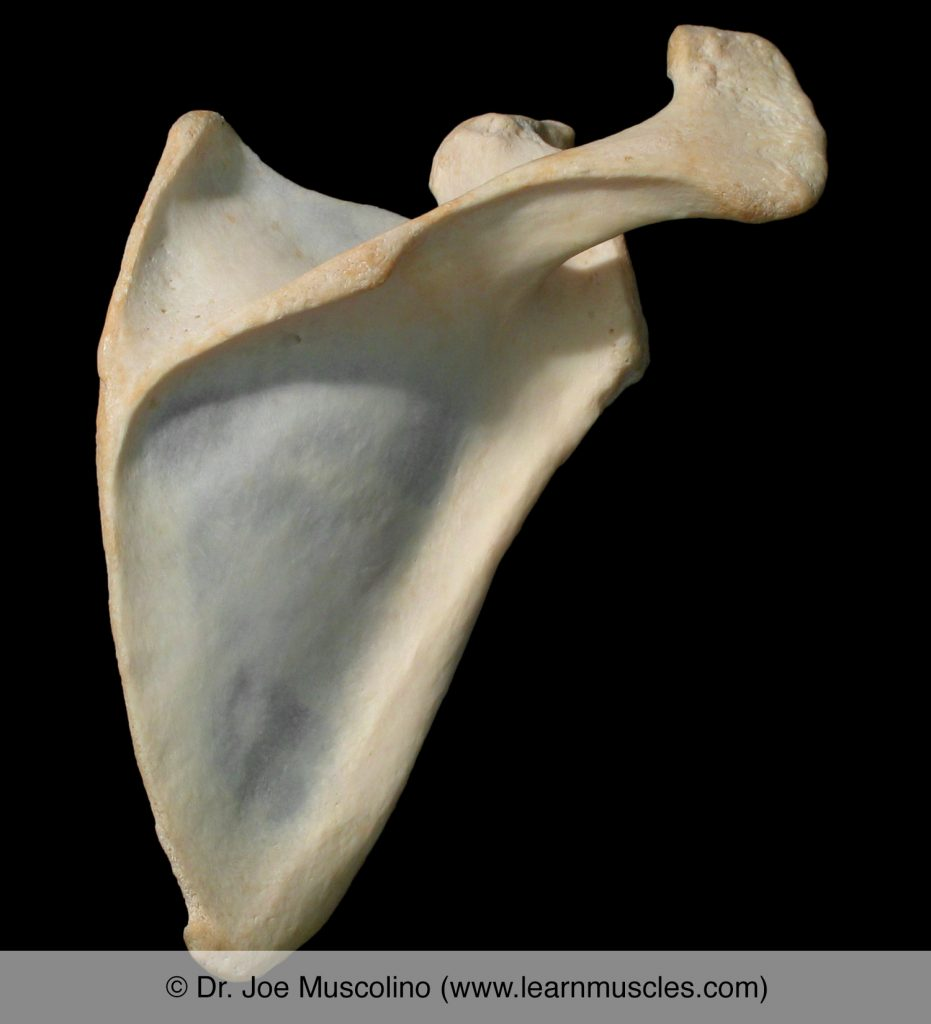 A posterior view of the scapula on the right side of the body.