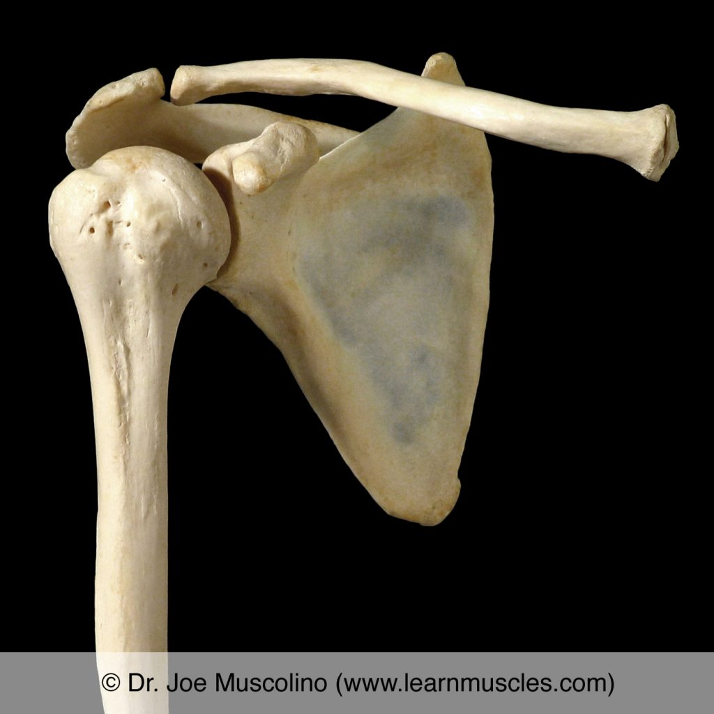 Anterior view of the glenohumeral joint on the right side of the body.