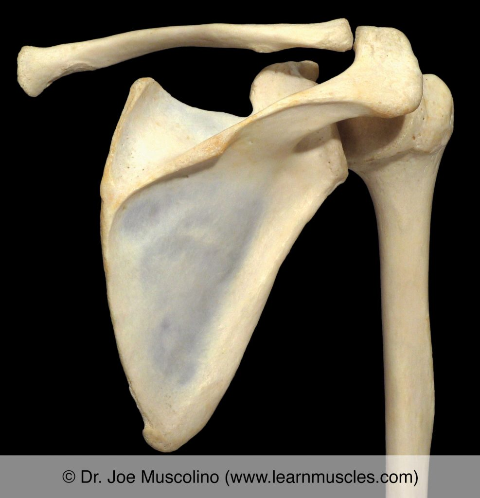 Posterior view of the glenohumeral joint on the right side of the body.
