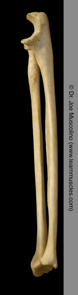Medial view of the radius and ulna on the right side of the body.