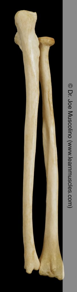 Posterior view of the ulna and radius on the right side of the body.