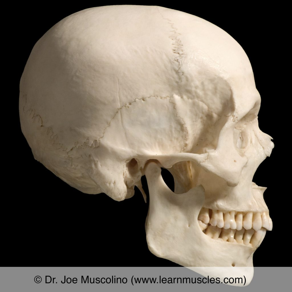 Right lateral view of the bones of the skull; the temporomandibular joint (TMJ) is demonstrated.