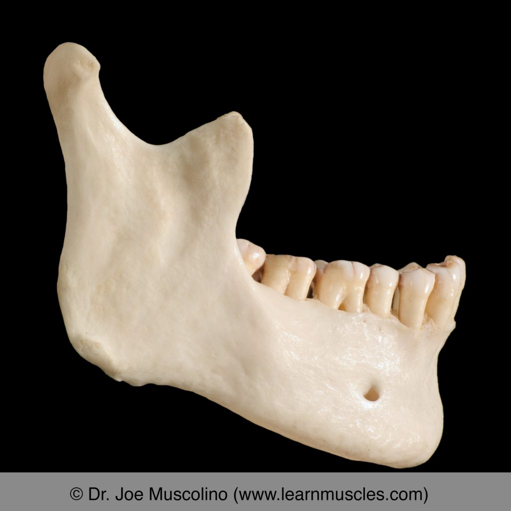Right lateral view of the mandible.