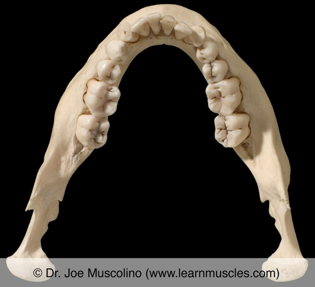 Superior view of the mandible.