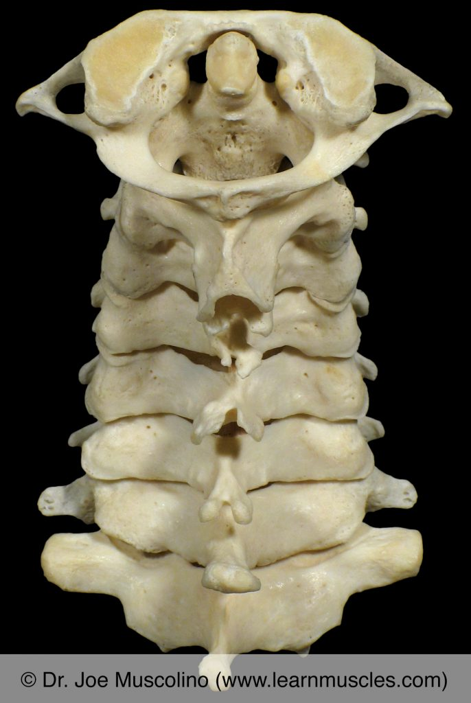 Posterior view of the cervical spine.