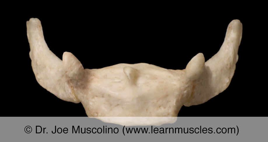 Anterior view of the hyoid bone.