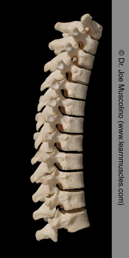 Right lateral view of the thoracic spine.