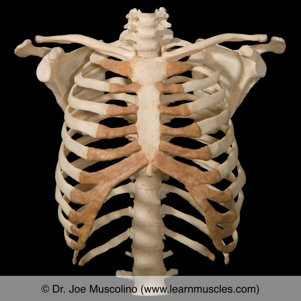 The bony thorax. The xiphoid process of the sternum is seen here. Note: This is not the same sternum as seen in the other photograph here.