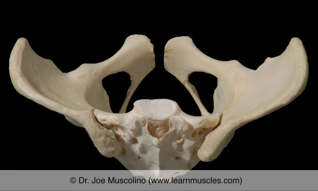 Superior view of the sacroiliac joints (SIJs).