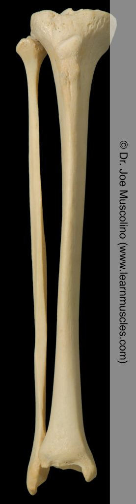Anterior view of the tibia and fibula on the right side of the body.