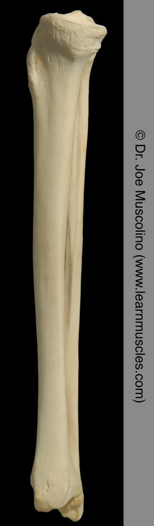 Medial view of the tibia and fibula on the right side of the body.