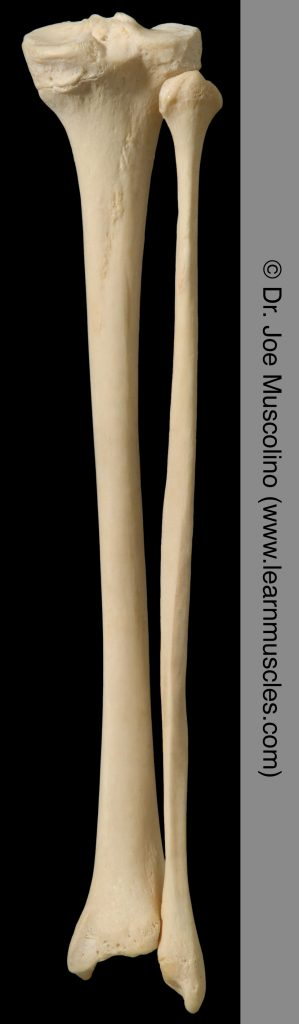 Posterior view of the tibia and fibula on the right side of the body.