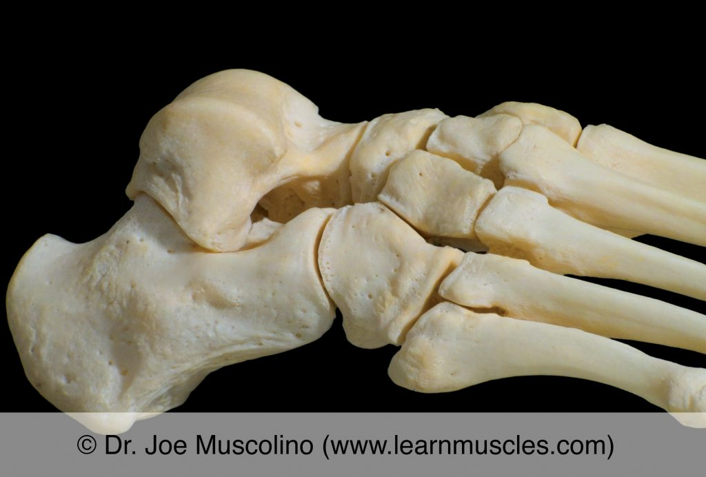 Lateral view of the subtalar joint on the right side of the body.