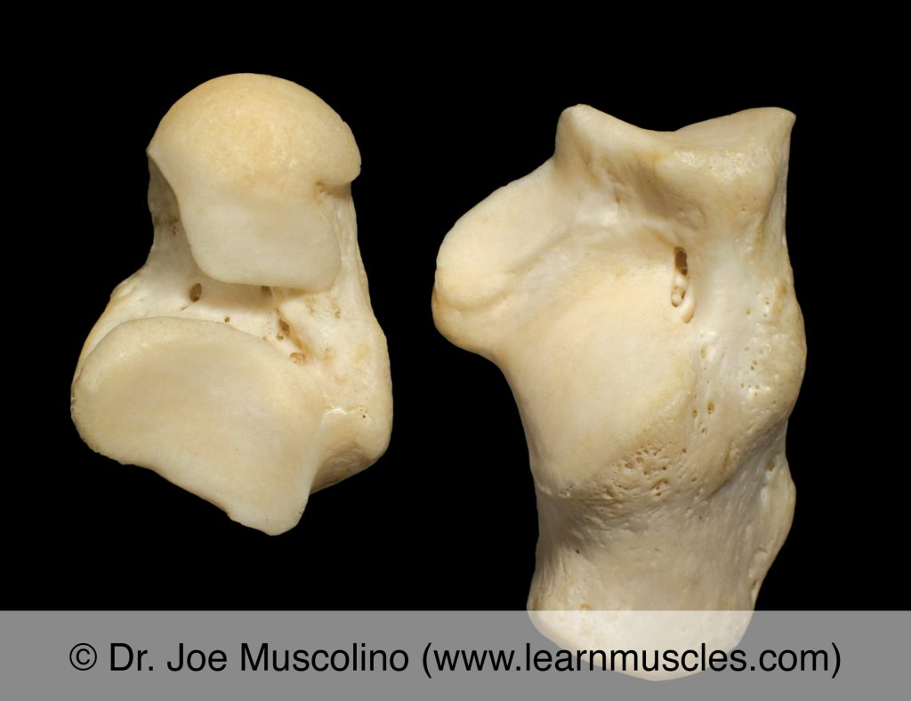 Talus and calcaneus of the right-side subtalar joint in open book view.
