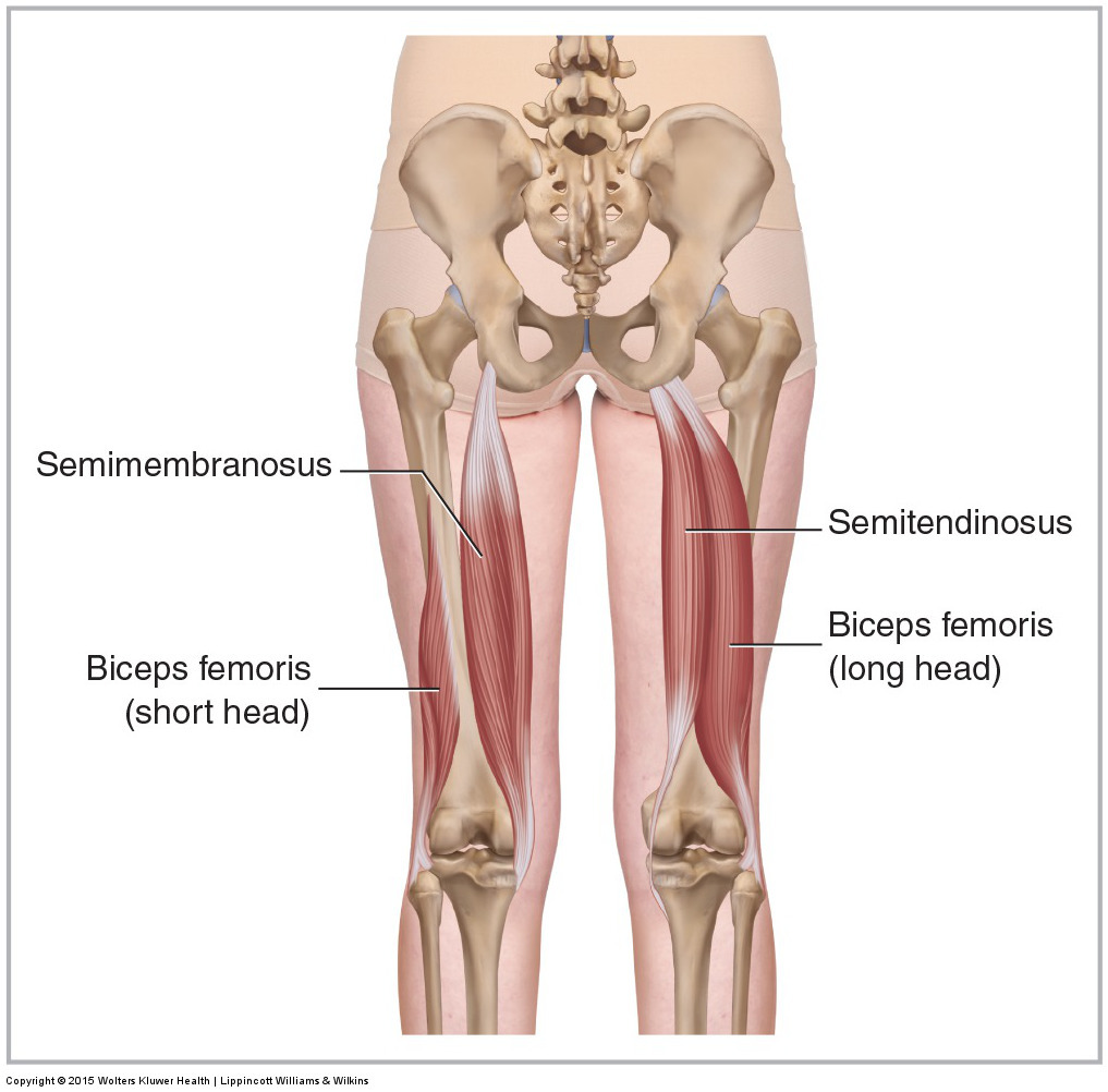 Basic Anatomy Of How To Stretch The Hamstrings The Movement Fix