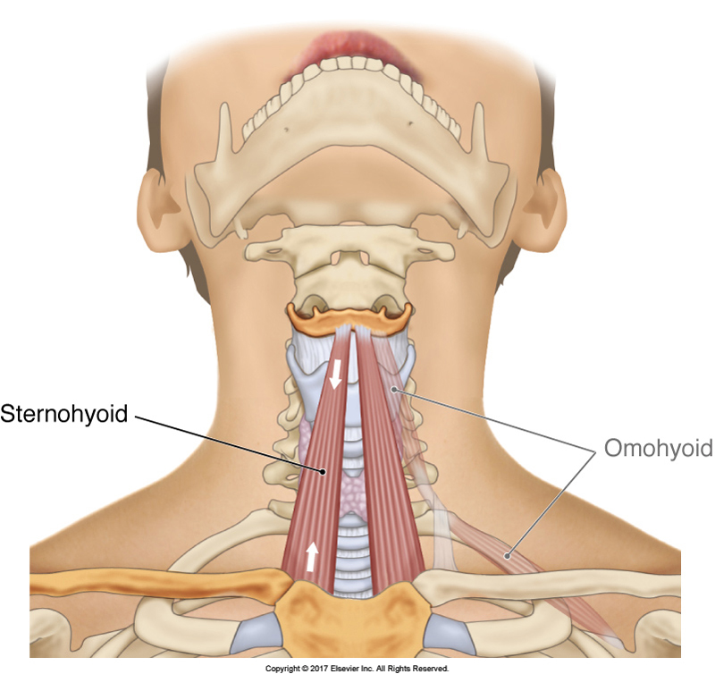 sternohyoid muscle of the anterior neck that attaches from the sternum inferiorly to the hyoid bone superiorly