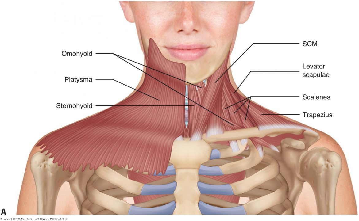 Superficial anterior view of the muscles of the neck