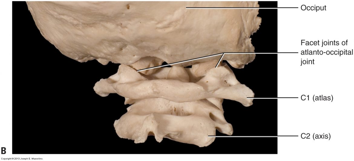 cervical spinal joints - posterolateral view of the atlanto-occipital joint