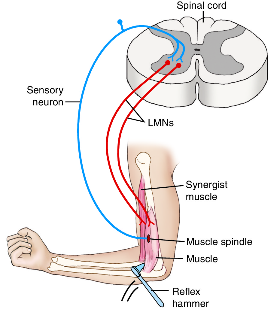 Muscle Spindle Reflex