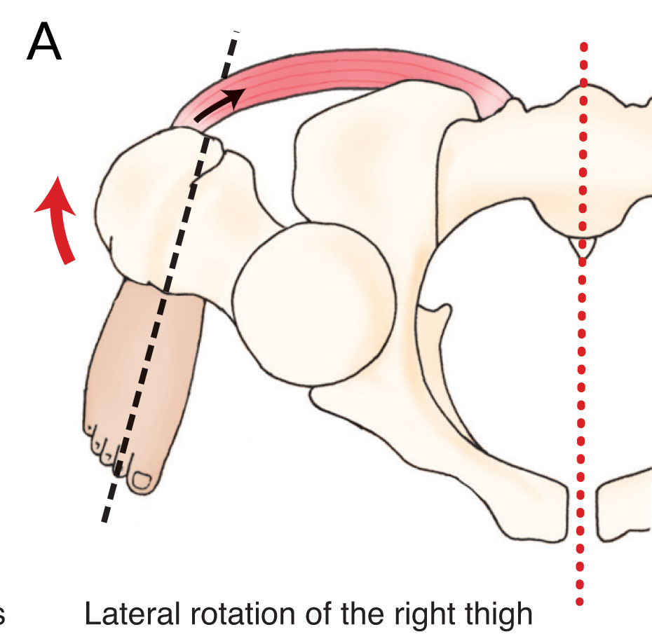 Psoas major laterally rotates the hip joint