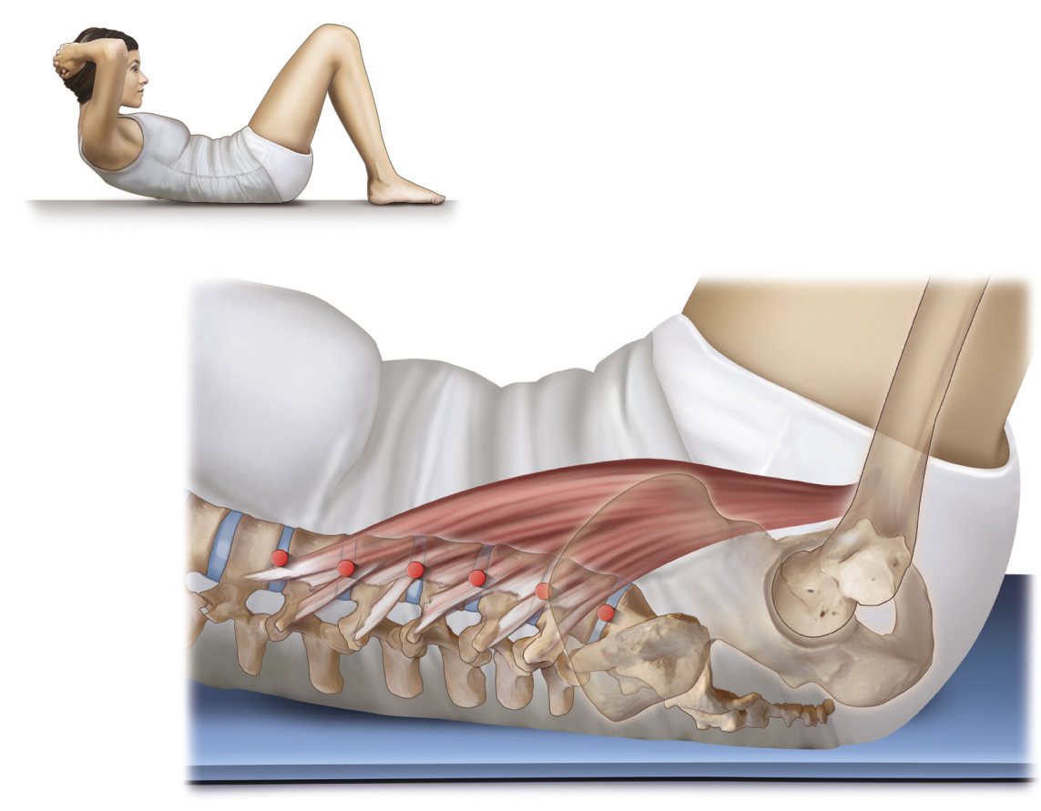 Psoas major can flex and extend the lumbar spine