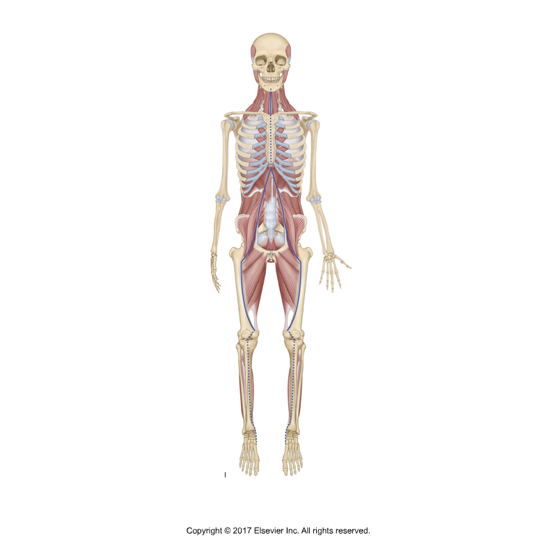 Psoas Major Function: Psoas Major and Fascial Pulls