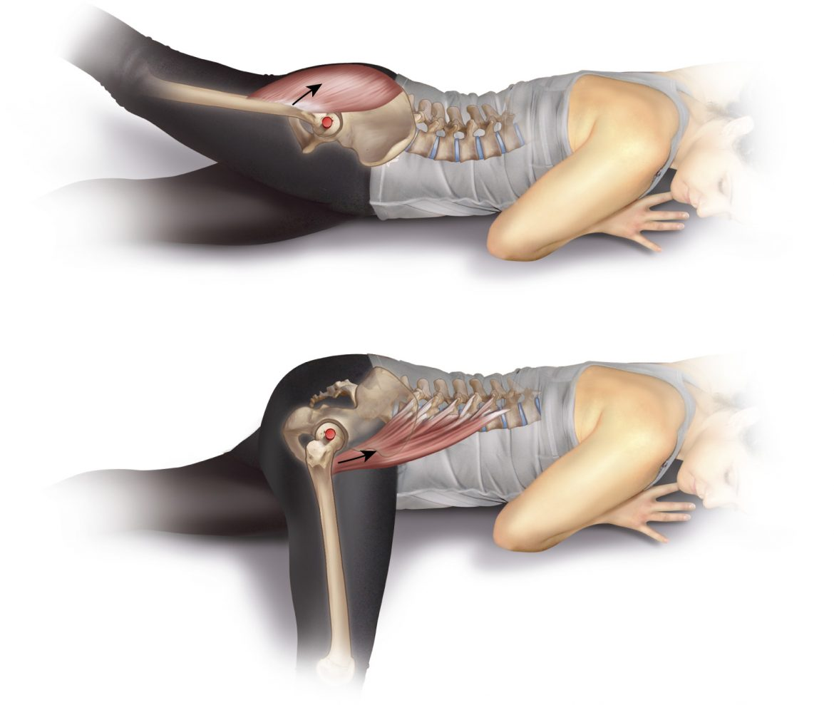 psoas major flexes the hip joint