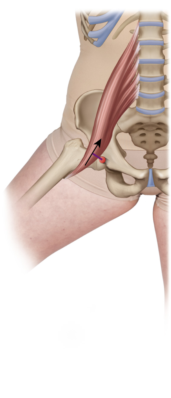 Psoas major abducts the hip joint
