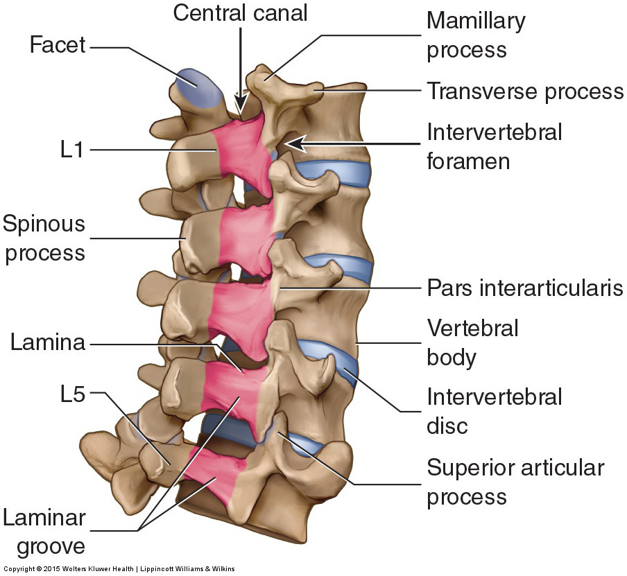 Posterolateral view of the lumbar spine