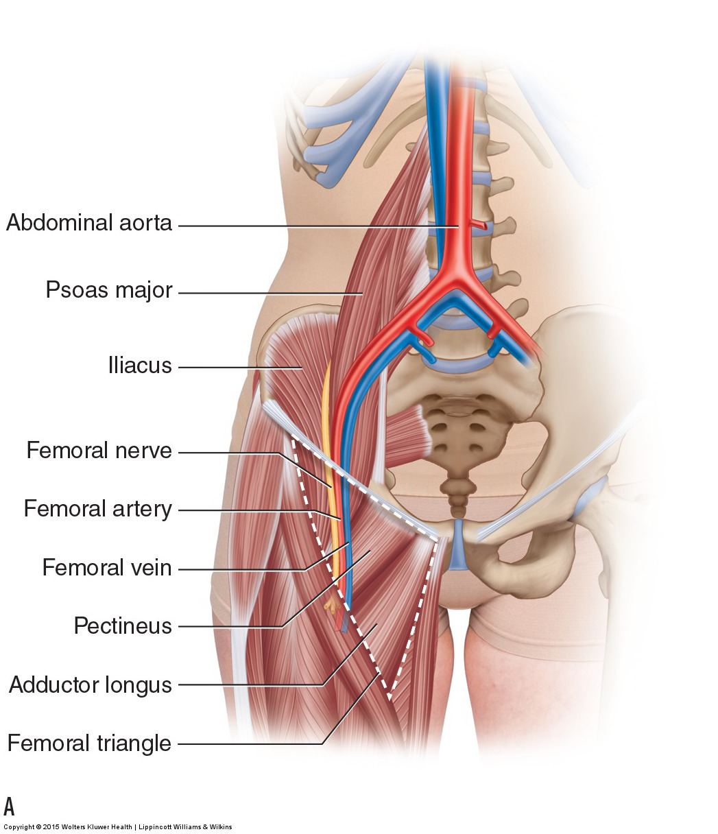 femoral nerve Archives - Learn Muscles