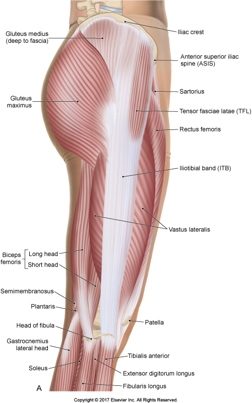 Lateral view of the Iliotibial Band (ITB)