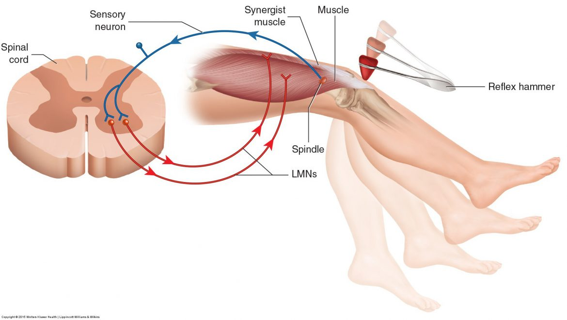 Muscle spindle stretch reflex