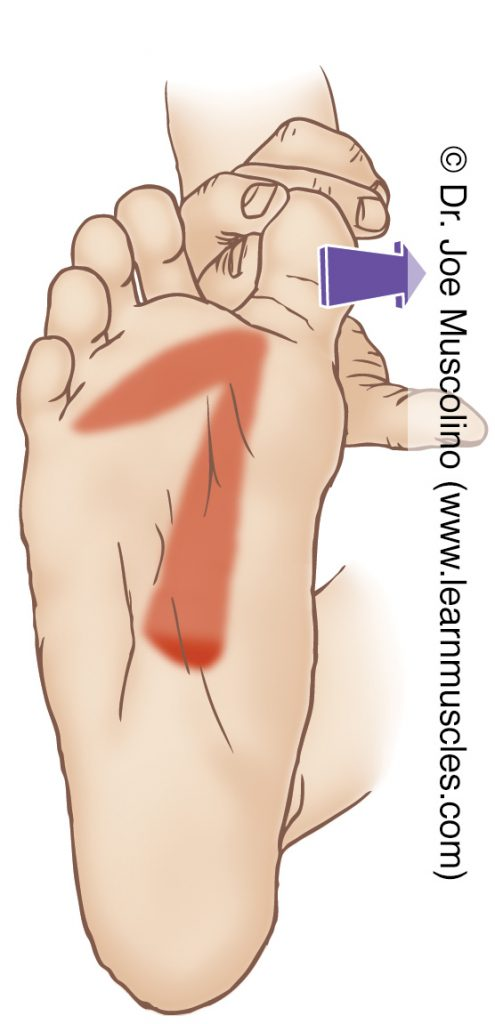 The adductor hallucis (intrinsic muscle of the foot) is stretched by abducting the big toe at the metatarsophalangeal joint.