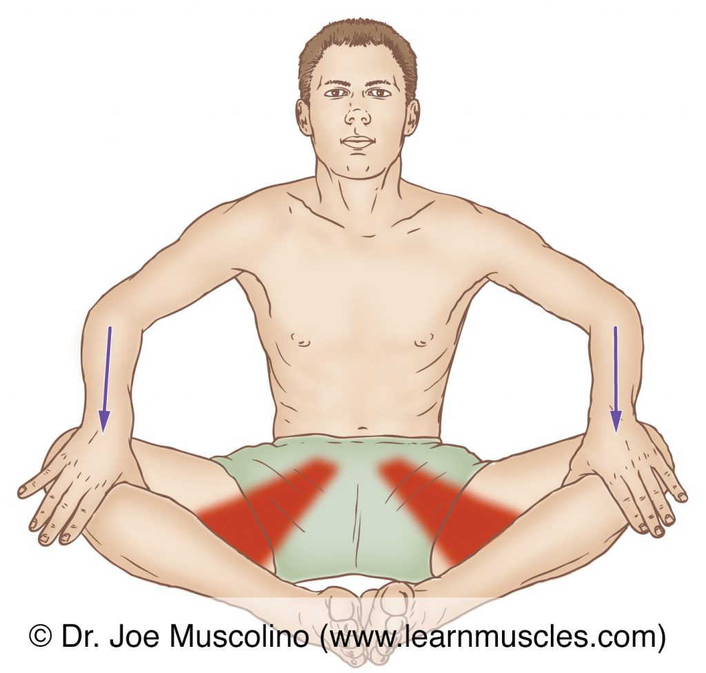 The adductor longus is stretched with abduction and lateral rotation of the thigh at the hip joint.