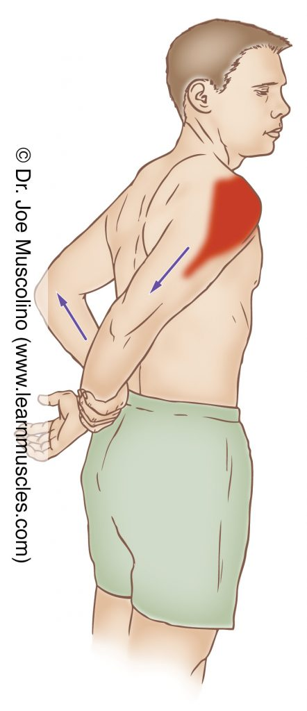 The coracobrachialis is stretched with extension and adduction of the arm at the shoulder joint.