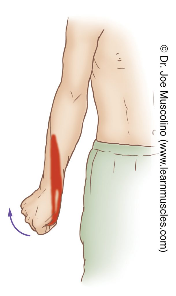 The extensor pollicis longus is stretched with flexion of the thumb at the carpometacarpal, metacarpophalangeal, and interphalangeal joints, and radial deviation of the hand at the wrist joint.
