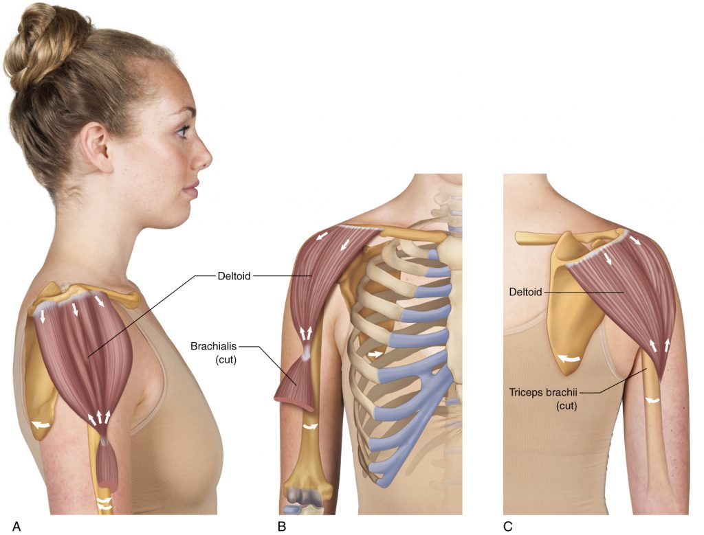 Deltoid_HR