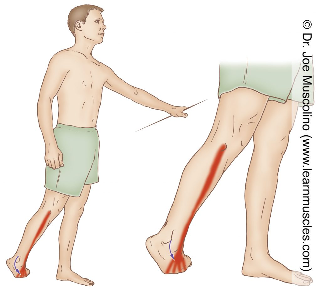 The extensor digitorum longus is stretched by plantarflexing and inverting the foot. A wall or table can be used for balance.