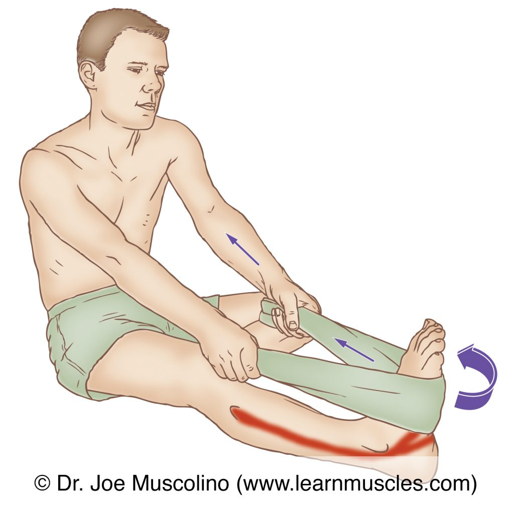 The fibularis brevis is stretched with inversion of the foot at the subtalar joint and dorsiflexion of the foot at the ankle joint.