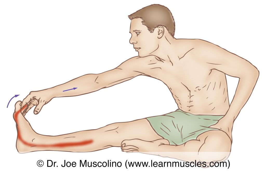 The flexor digitorum longus is stretched with dorsiflexion of the foot at the ankle joint and eversion of the foot at the subtalar joint.