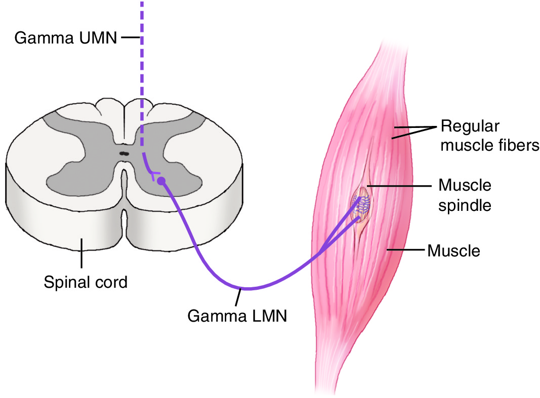 Gamma Motor System control of Muscle Spindle Activity