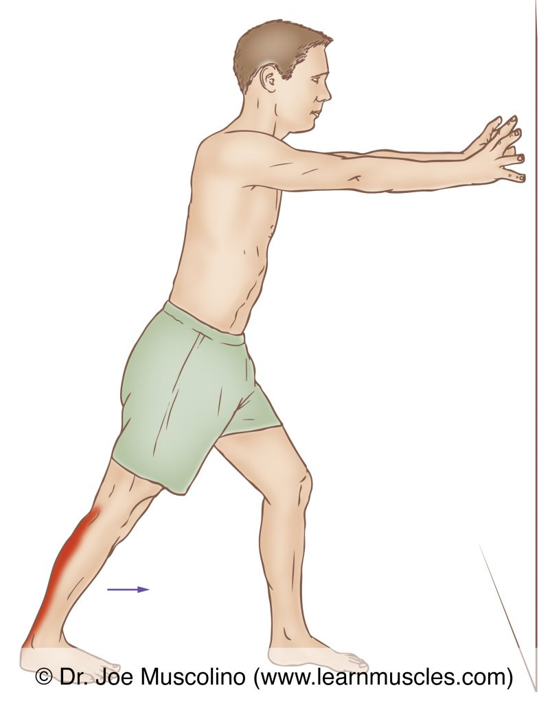 The gastrocnemius is stretched with dorsiflexion of the foot at the ankle joint and full extension at the knee joint.