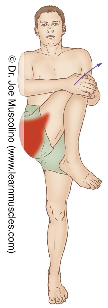 The gluteus maximus is stretched by flexing and horizontally adducting the thigh (across the body) at the hip joint.