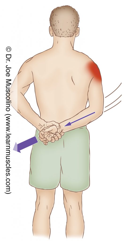 The middle deltoid is stretched with adduction of the arm at the shoulder joint (in extension behind the back).
