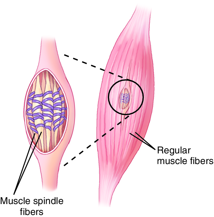 Muscle Spindle Cells
