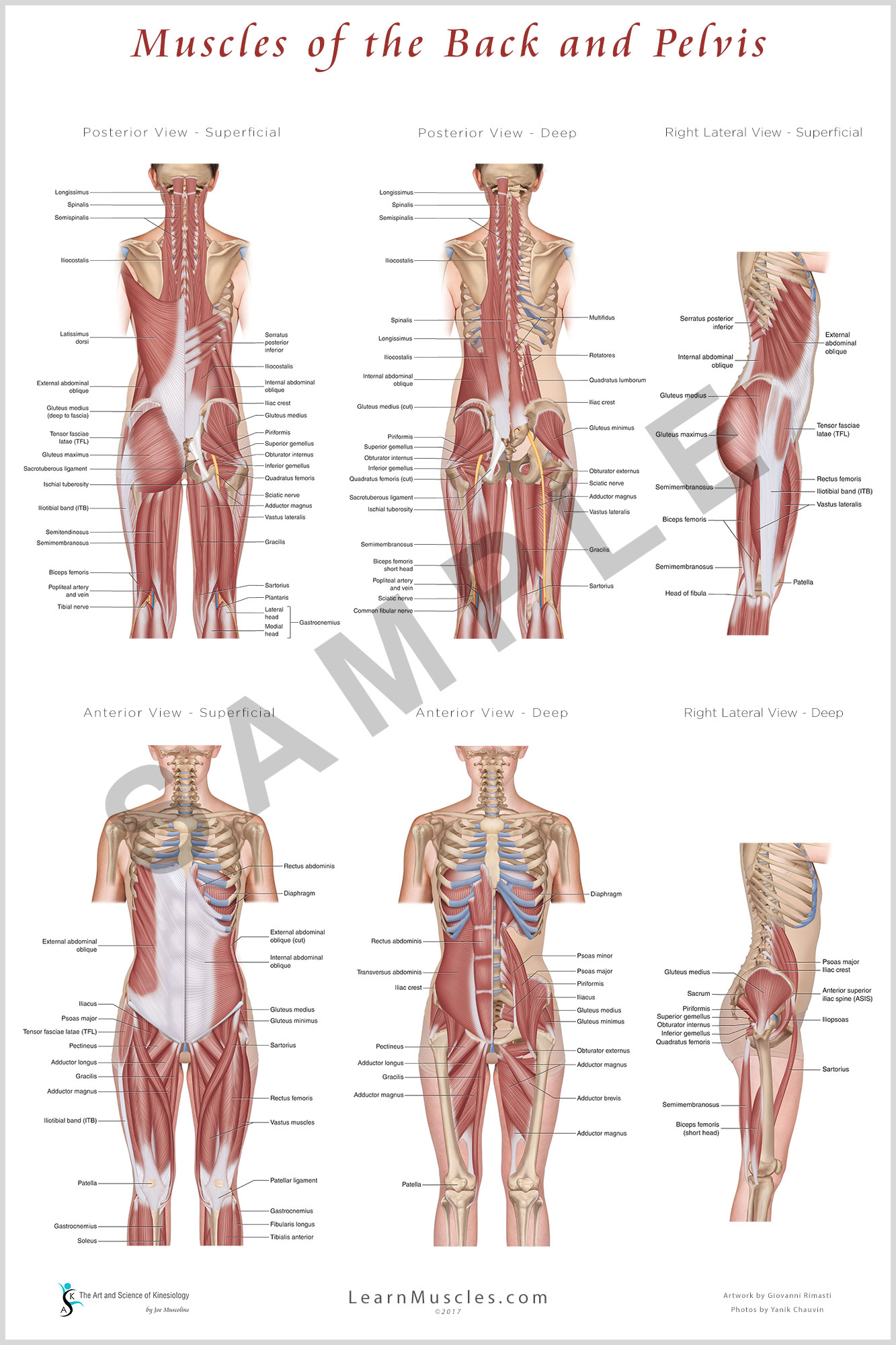 Muscles of back anatomy