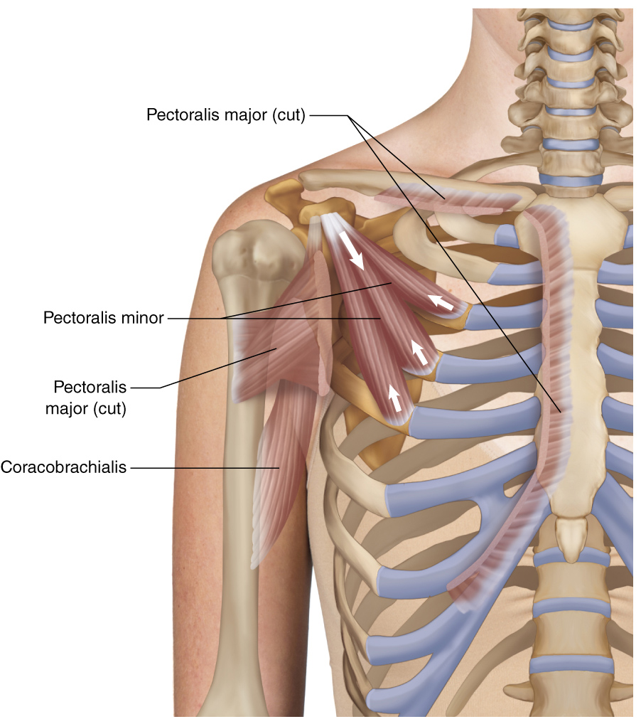 pectoralis minor learn muscles